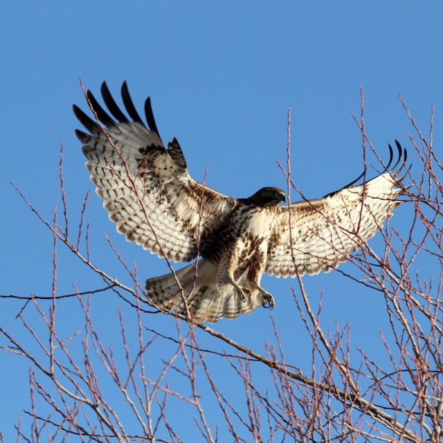 """Red tailed hawk landing in tree with wings spread (Buteo jamaice"" stock image"