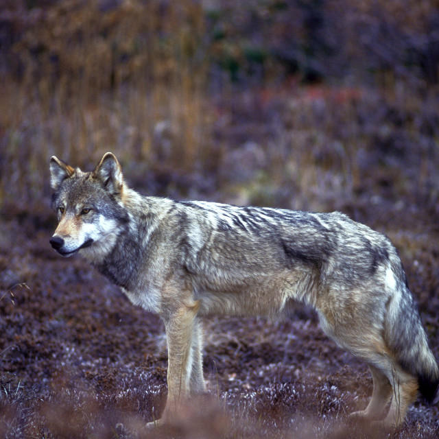 """Timber wolf in fall colors (Canis lupus), Alaska, Denali Nationa"" stock image"