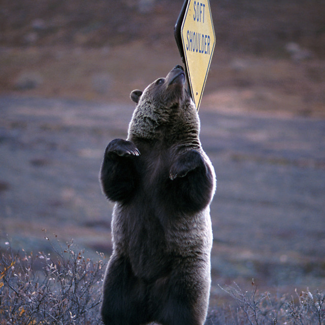 """Grizzly bear scratching his back on a ""Soft Shoulder""€ sign ("" stock image"