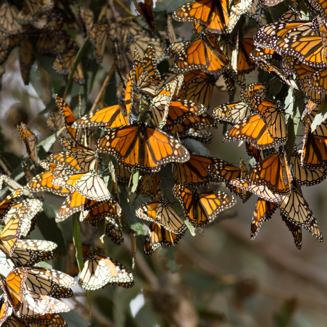 """Monarch butterflies gathered on a tree branch during the autumn"" stock image"