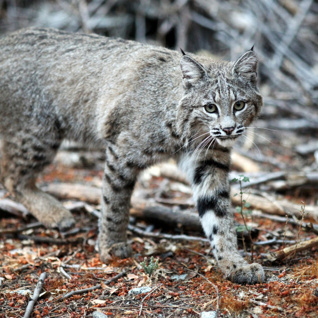 """""""Bobcat walks by the camera and looks into the lens in this close"""" stock image"""