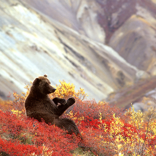 """Grizzly bear sitting in patch of blueberries eating (Ursus arcto"" stock image"