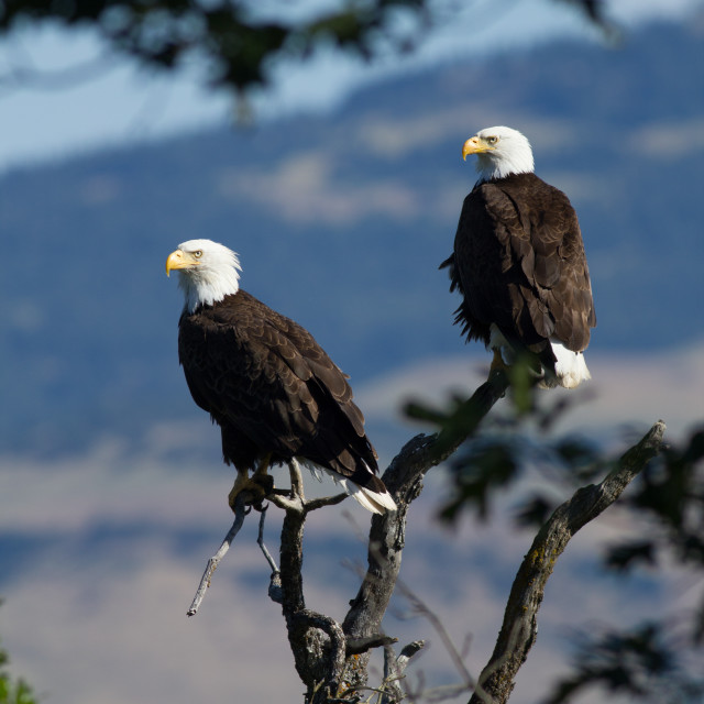 """""""A pair of mature Bald Eagles sitting in a tree."""" stock image"""