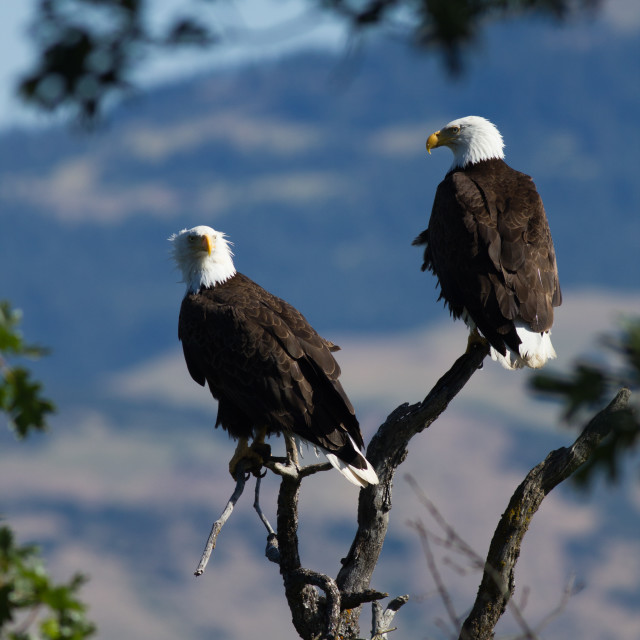 """A pair of mature Bald Eagles sitting in a tree."" stock image"