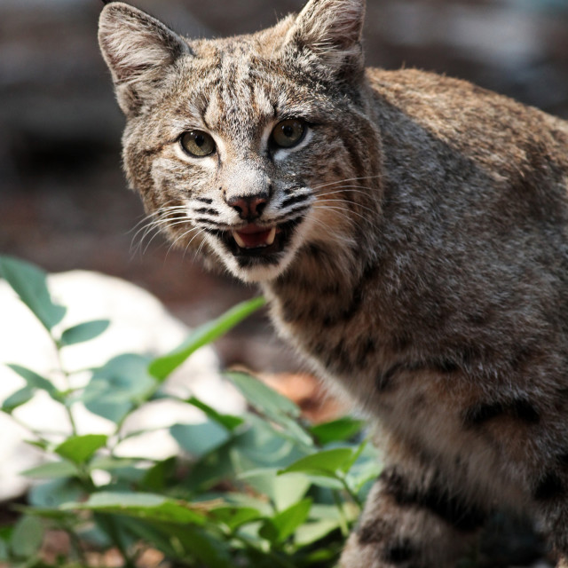 """Bobcat shows his teeth and looks into camera (Lynx rufus), Calif"" stock image"
