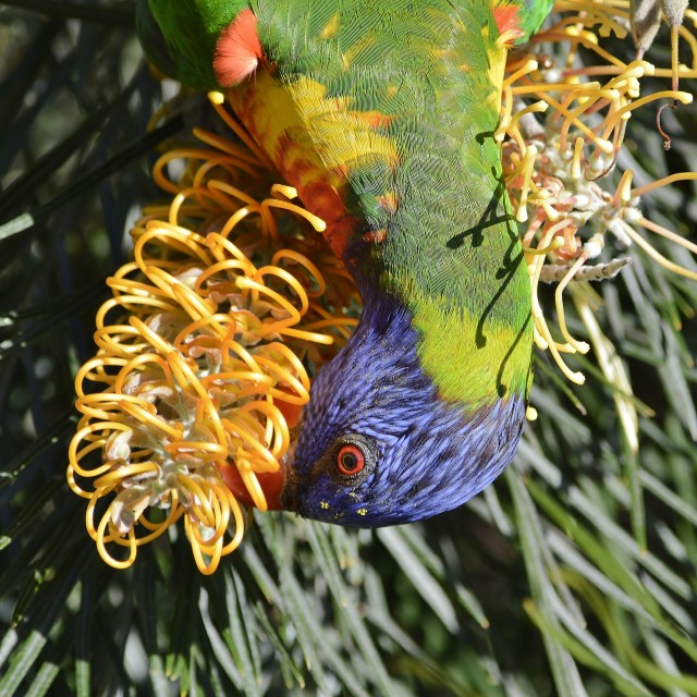 """Pollen Covered Rainbow Lorikeet Eating Nectar"" stock image"