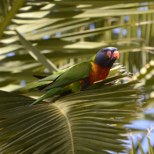 """Two Lorikeets On Palm Tree Leaf"" stock image"