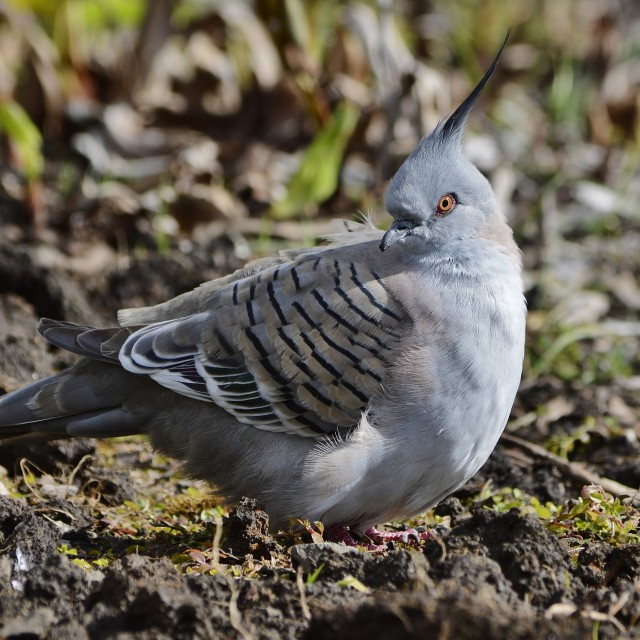 """Crested Pigeon - Ocyphaps lophotes"" stock image"