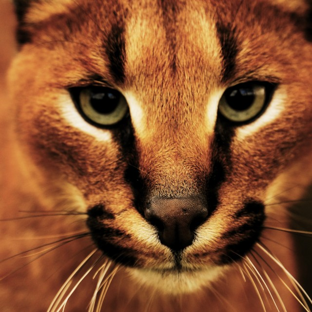 """Caracal"" stock image"