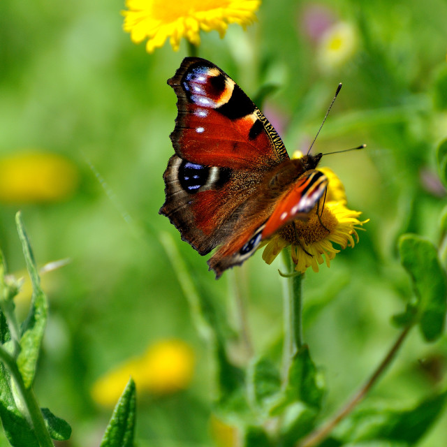 """A European Peacock Butterfly"" stock image"