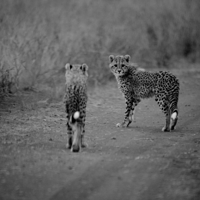 """Cheetah Cubs"" stock image"