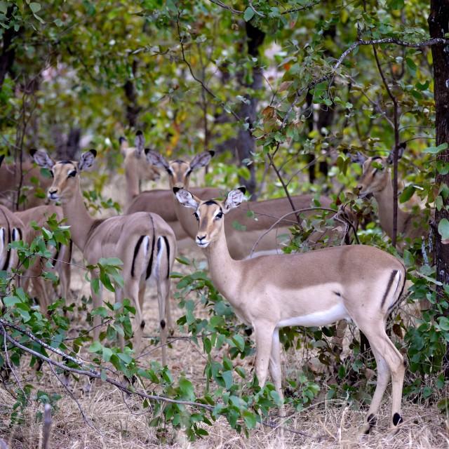 """Impala herd"" stock image"