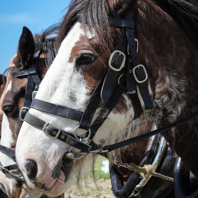 """Clydesdale portrait"" stock image"