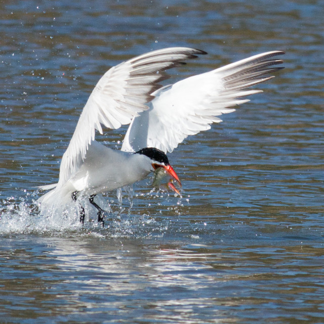 """Caspian tern catches a fish from the lake and grasps it in his b"" stock image"