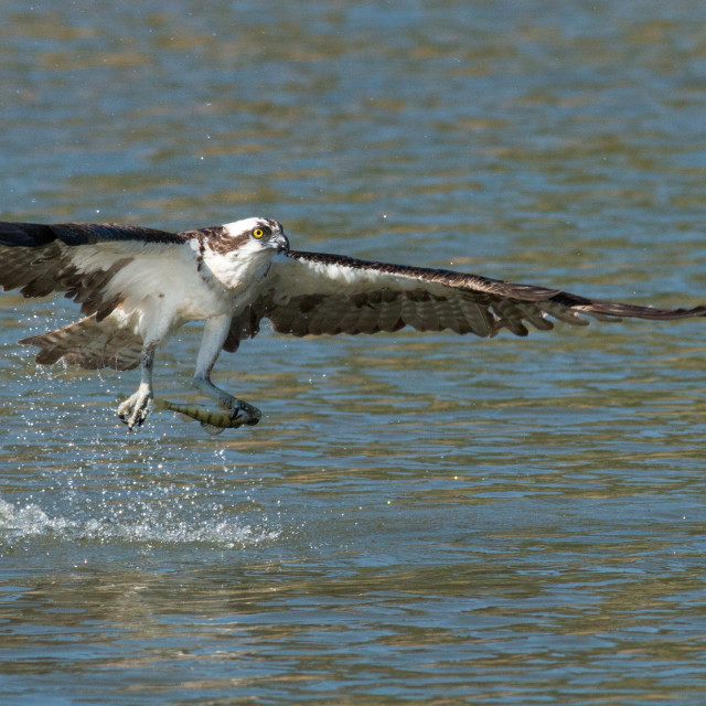 """""""Osprey catches a fish from the lake and grasps it in his talons."""" stock image"""