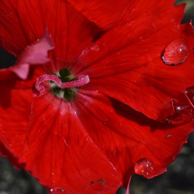 """Red Dianthus Macro"" stock image"