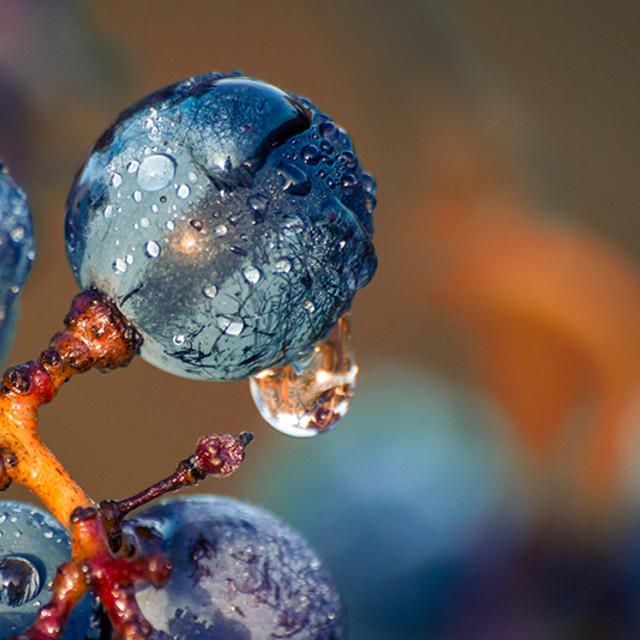 """Grape"" stock image"