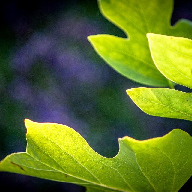"""Tulip tree leaves"" stock image"