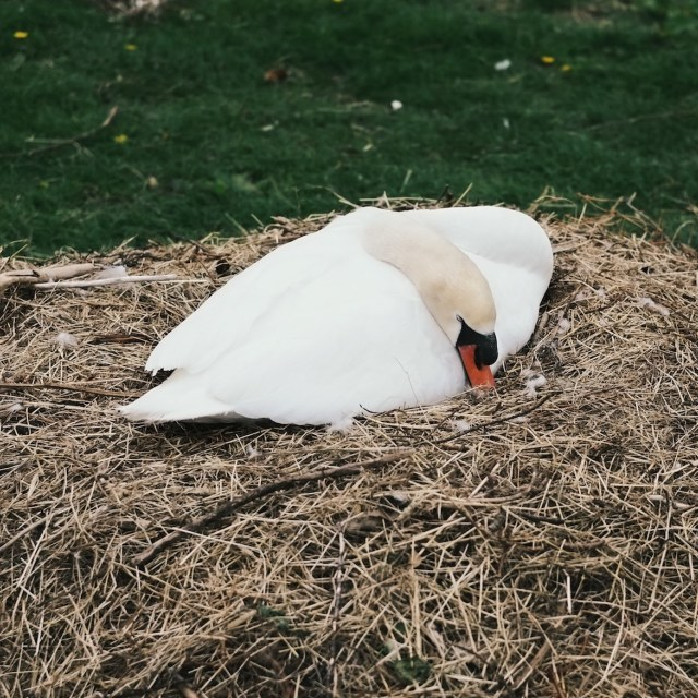 """Sleeping Swan"" stock image"
