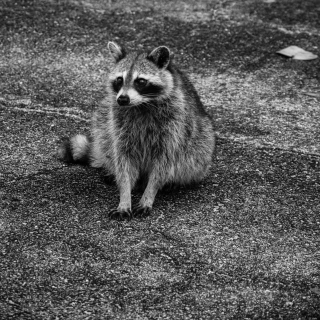 """""""Curious raccoon"""" stock image"""