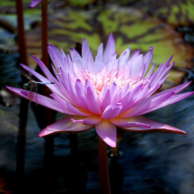 """WaterLily and Dragonfly"" stock image"