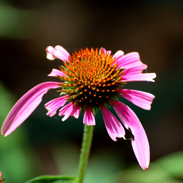 """The Sad Flower"" stock image"