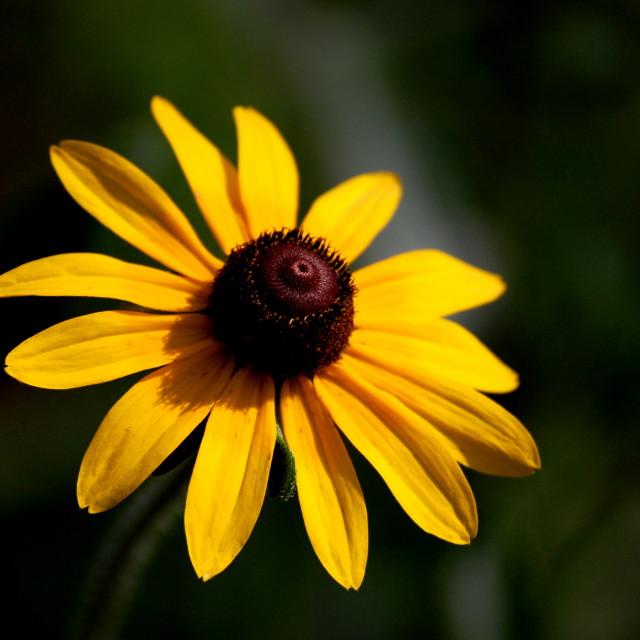 """Sunset daisy"" stock image"