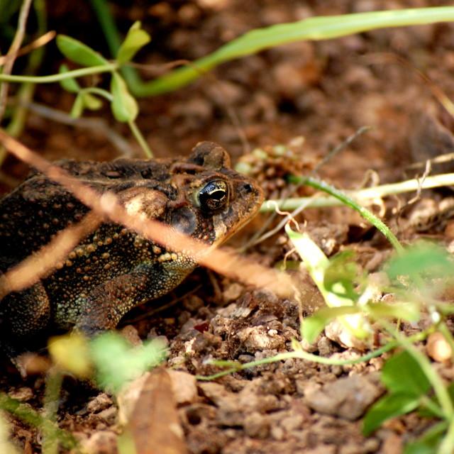"""Alabama Frog"" stock image"