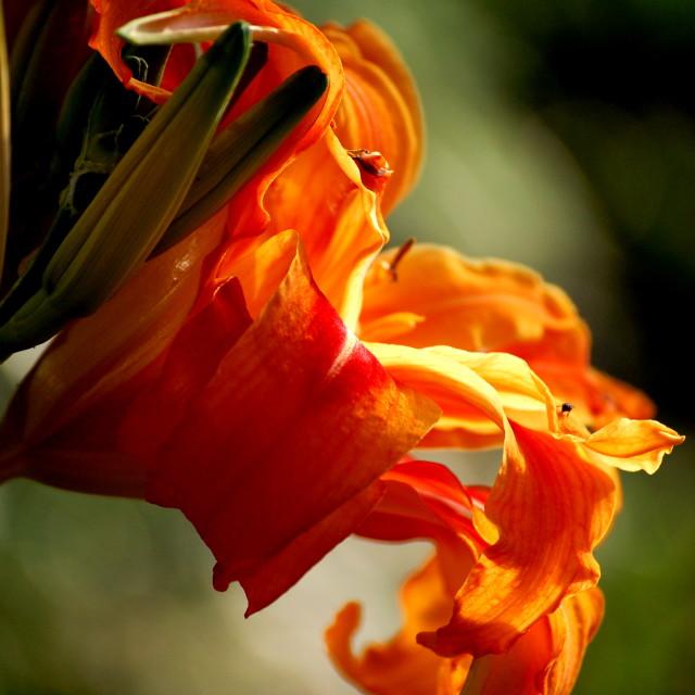 """""""Sunset flower"""" stock image"""