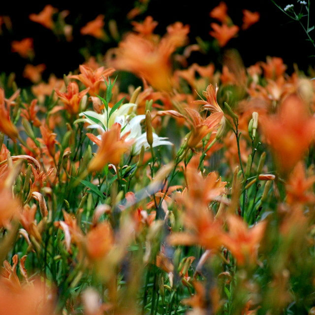 """""""Lily Fields"""" stock image"""