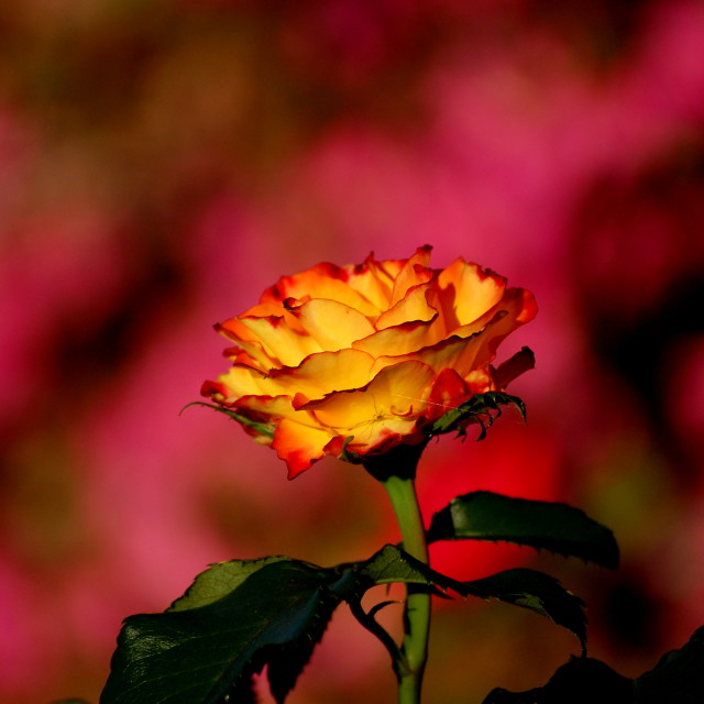 """""""Fire Rose"""" stock image"""