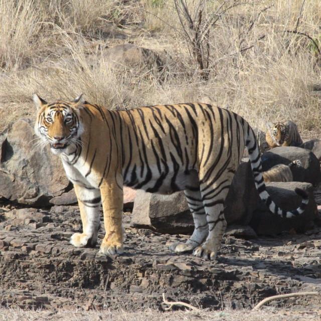 """""""Tiger and Cubs at Ranthambore"""" stock image"""