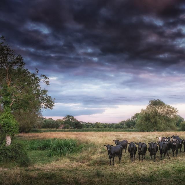"""Cows At Dusk"" stock image"