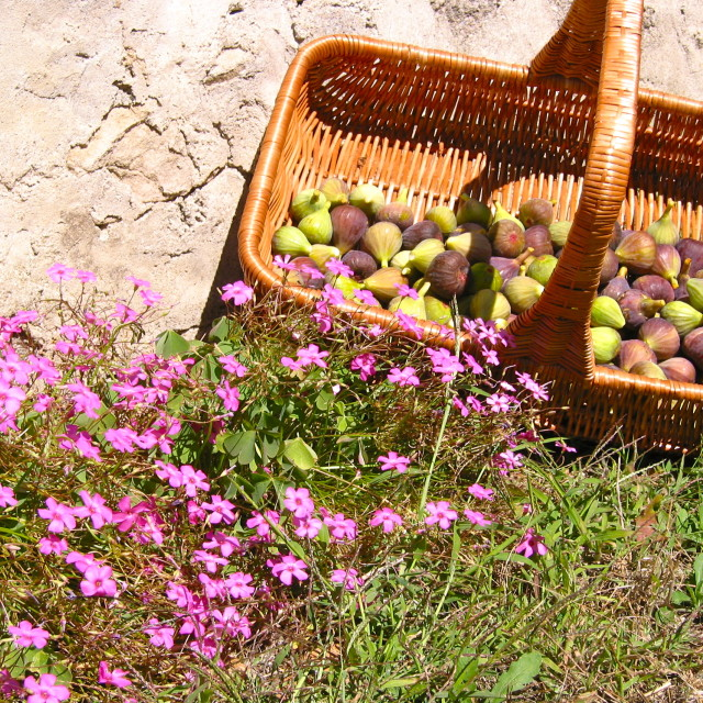 """""""Fig basket in the Dordogne, France"""" stock image"""