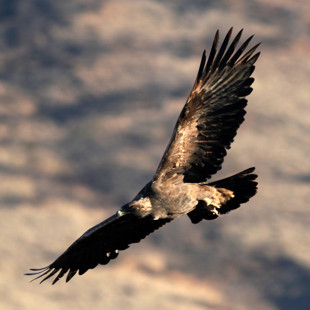"""Golden Eagle soaring (Aquila chrysaetos), Oregon, Emigrant Lake,"" stock image"