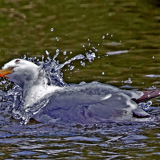 """""""A Gull in a lake."""" stock image"""