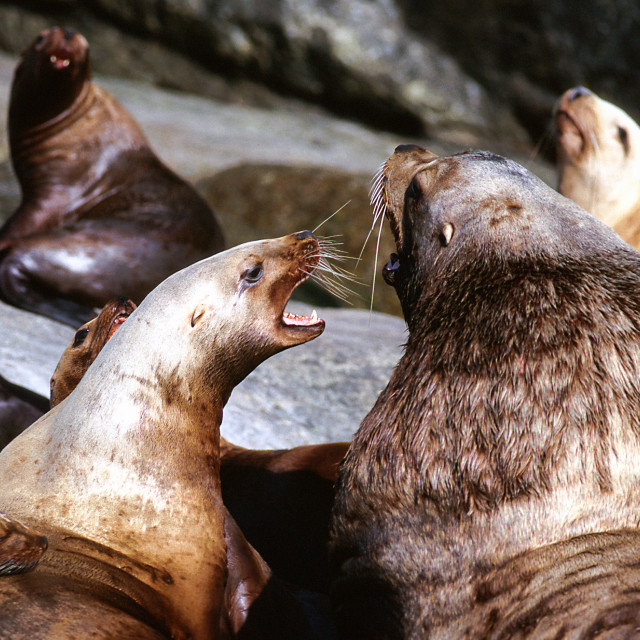 """Steller Sea Lion growls at the adult, (Eumetopias jubatus), Alas"" stock image"