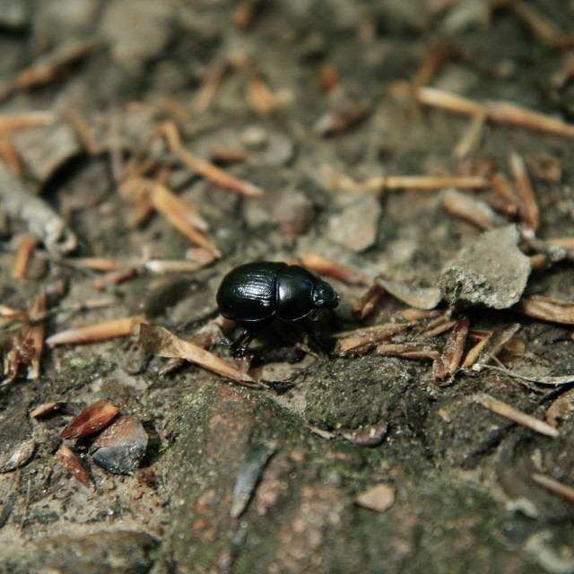 """Black beetle"" stock image"