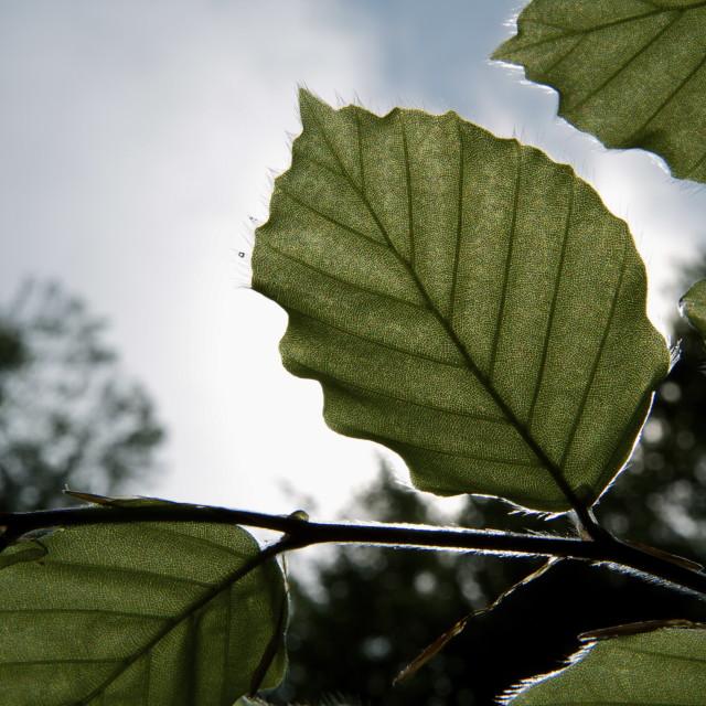 """""""Leaf viens"""" stock image"""