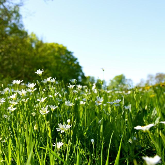 """""""daisy field"""" stock image"""