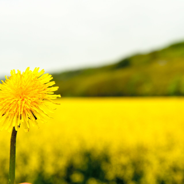 """Yellow flower field"" stock image"