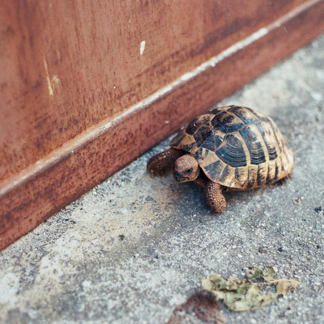"""A Croatian Tortoise"" stock image"