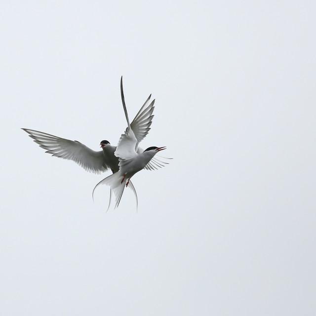 """Artistic Arctic Tern"" stock image"
