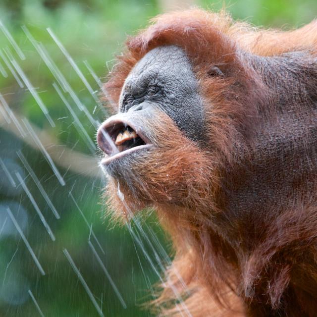"""Drinking Orangutan"" stock image"