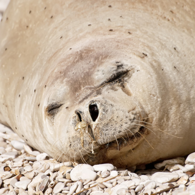 """""""Mediterranean monk seal"""" stock image"""