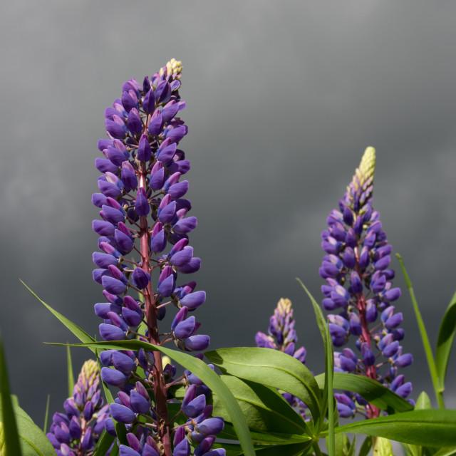 """Lupin Sky"" stock image"