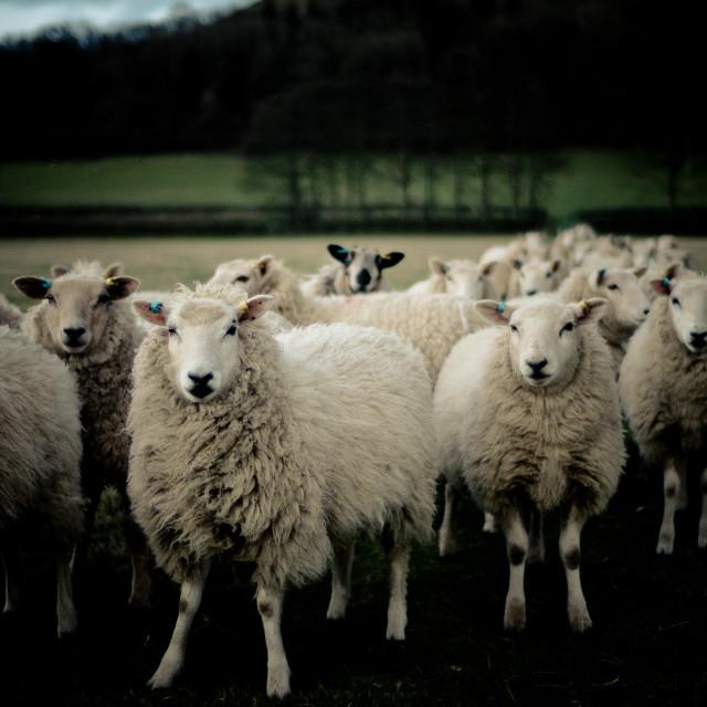 """Sheep Waiting"" stock image"