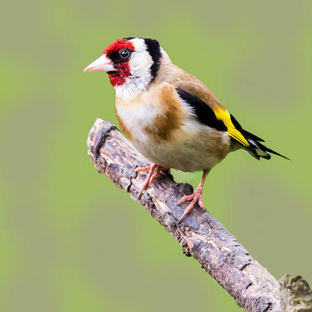 """Goldfinch"" stock image"