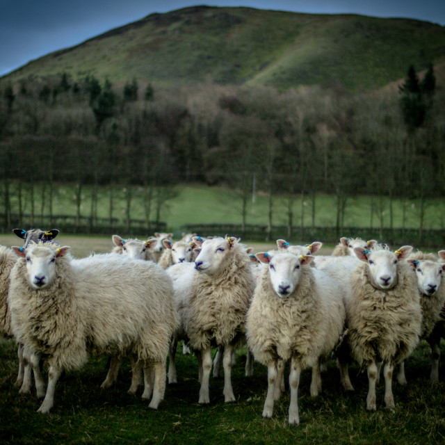 """Sheep Waiting"" stock image"