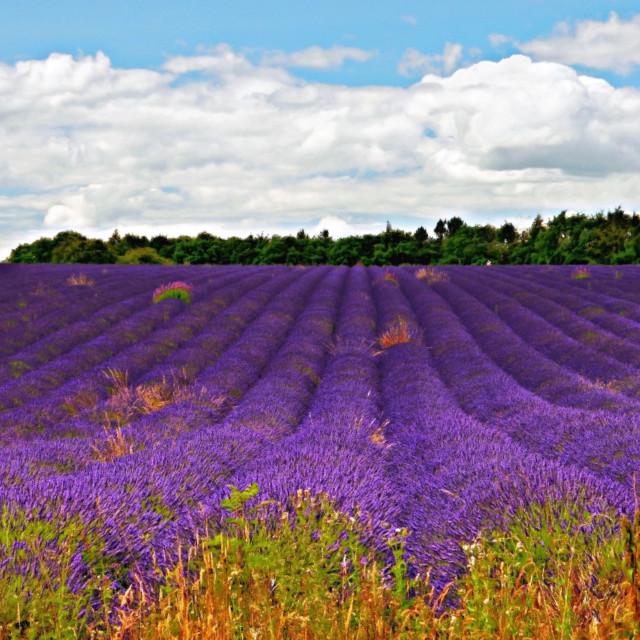 """""""Lavender Landscape"""" stock image"""